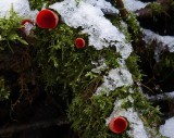 Sarcoscypha austriaca Scarlet Elfcup ANR Jan-13.jpg