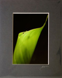 Gecko Peaking from Rolled Banana Leaf - Dark Brown Mat.jpg