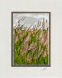 Sunlit Sugar Canes (grey overmat)