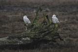 Snowy Owls