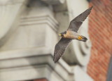 Peregrine adult around Clock Tower