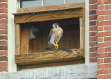 Peregrine adult, female on nestbox perch