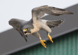 Peregrine adult, female in flight