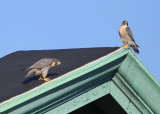 Peregrine pair on the roof, male above, female below