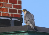Peregrine atop the roof above NB main entrance