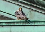 Peregrine Falcon, adult male (leg band 6/4)