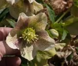 P3230056 Hellebore (Lenten Rose)