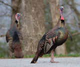 _MG_8015 Male Turkey Spring Finery.jpg