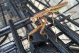 1043 Shopping Cart Mantis
