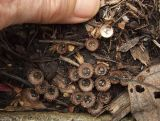 8-31 032 Bird's Nest Fungus