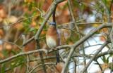 Bluebird Hampton Nov 12b.JPG