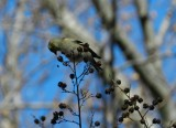 Goldfinch Jan 13 aa.JPG