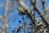 Goldfinch Jan 13 aaaa.JPG