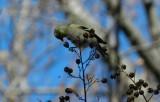 Goldfinch Jan 13 aaa.JPG