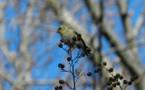 Goldfinch Jan 13 b.JPG