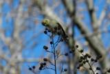 Goldfinch Jan 13 c.JPG