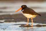 American Oystercatcher. South Padre Island. TX