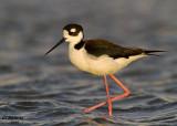 Black-necked Stilt. South Padre Island. TX