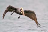 Brown Pelican. Port Isabel, TX