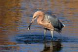 Reddish Egret. South Padre Island. TX59.jpg