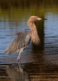 Reddish Egret. South Padre Island. TX
