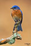 Eastern Bluebird. Chesapeake, OH