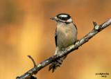 Downy Woodpecker. Chesapeake, OH