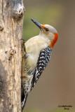 Red-bellied Woodpecker. Chesapeake, OH