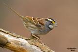 White-throated Sparrow. Chesapeake, OH