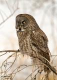 Great Grey Owl. Mauston, WI