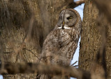 Great Grey Owl. Middleton, WI