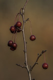 Cerisier de Pennsylvanie - Pin Cherry (Prunus pennsylvanica)