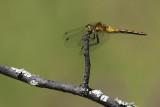 Sympétrum semi-ambré / Band-winged Meadowhawk female (Sympetrum semicinctum)