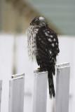 Épervier de Cooper / Cooper's Hawk (Accipiter cooperii)