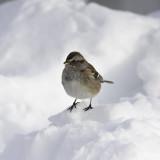 Bruant hudsonien / American Tree Sparrow (Spizella arborea)