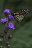 Monarque / Monarch butterfly (Danaus plexippus)