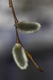 Saule / Willow (Salix)