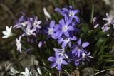 Iphéon à une fleur / Spring star (Ipheon uniflorum)