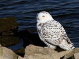 Missouri Snowy Owl