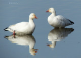 Wounded Geese