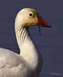 Portrait of a Snow Goose