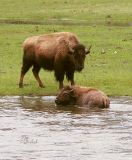 Mama Bison with her Older Calf