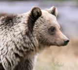 Just a Grizzly