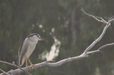Night Heron along the River.jpg