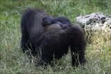 Newborn baby Gorilla.jpg