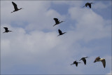 7 Glossy Ibis with one Seagull.jpg