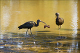Glossy Ibis in Safari Park after the Storm