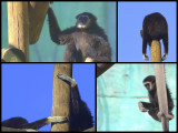 antics of a chimpanzee.jpg
