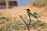 Bee-eater at Tel Baruch near Tel Aviv