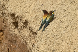 Two Baby Bee-Eaters.jpg